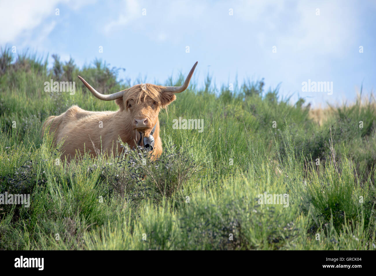 Yellow Scottish Highlandcow Lying In The Midst Of Gorse. Light Blue Sky, White Clouds In The Back. Cowbell, Large - Stock Image