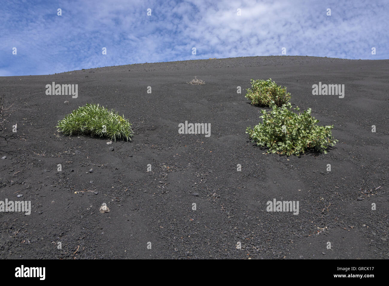 Gentle Slope Of Volcanic Ash, 3 Three Pioneer Plants. In The Back Blue Sky With Cotton Wool Clouds. Volcano San - Stock Image