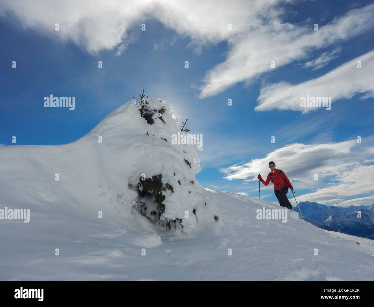 Female Snowshoer Wearing A Red Shirt Walking Towards A Small, Deeply Snowed In Fir Tree. In The Foreground Snowfield, - Stock Image
