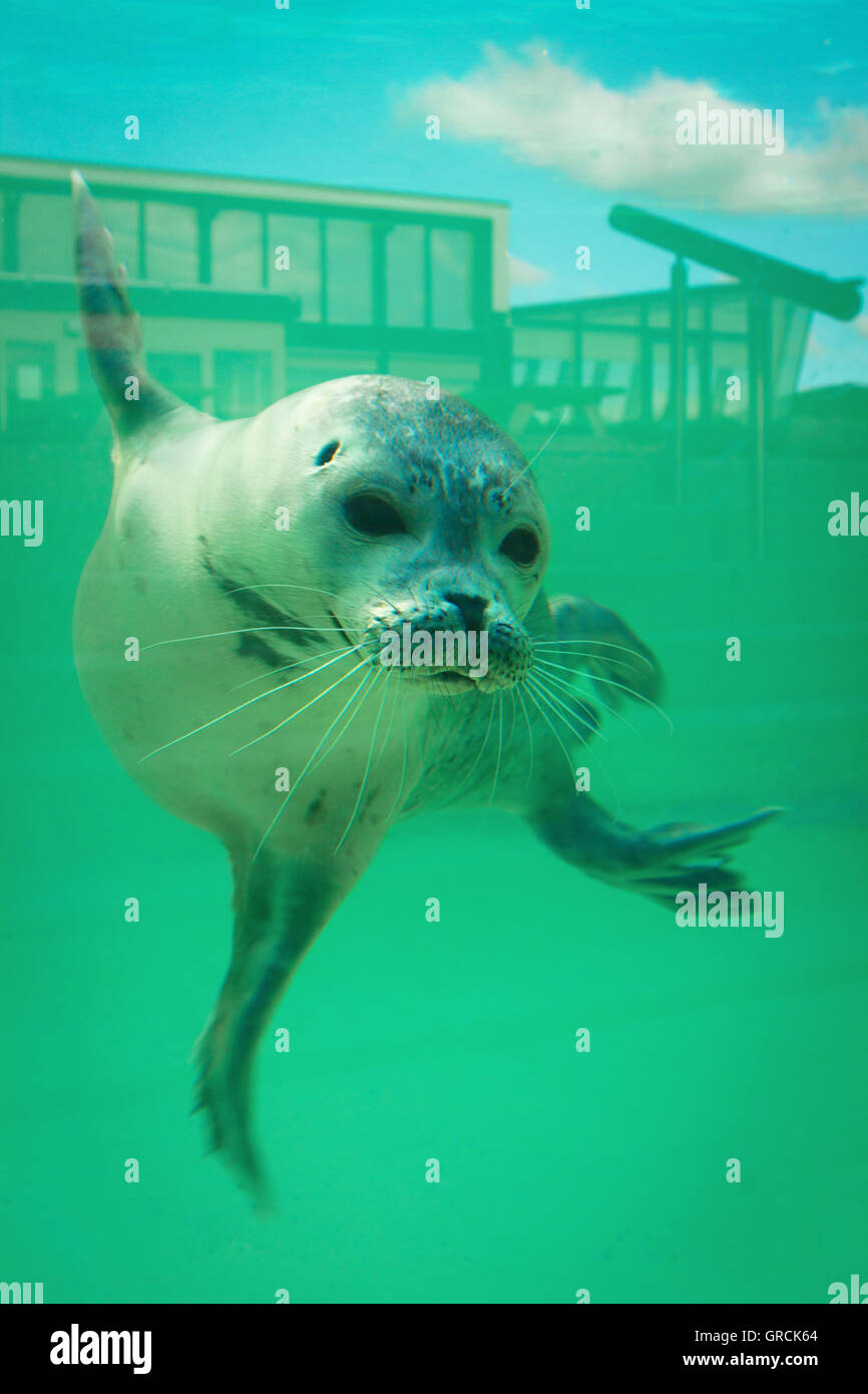 Seal In Aquarium With Reflection - Stock Image