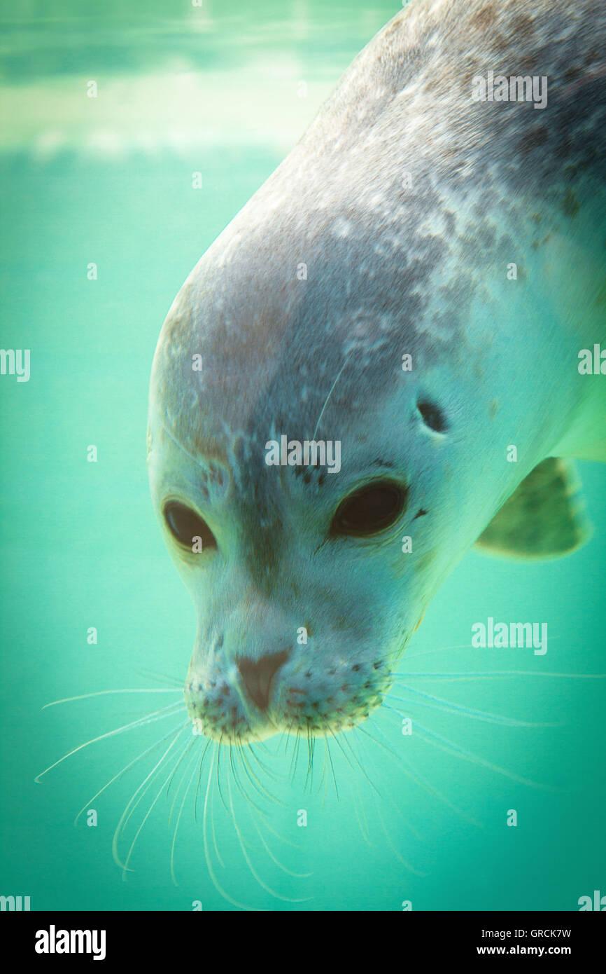 Curious Seal - Stock Image