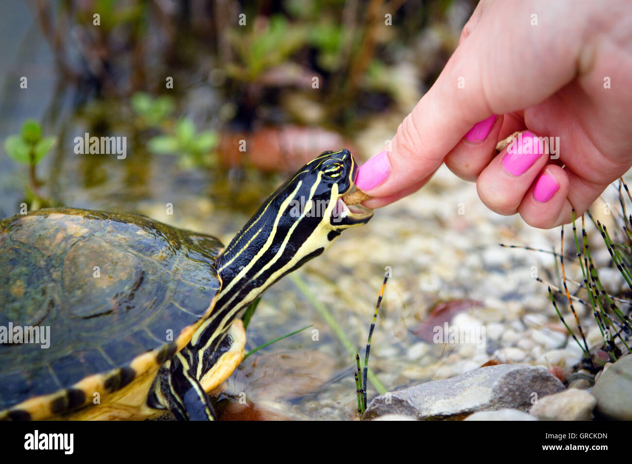 Turtles Feeding - Stock Image