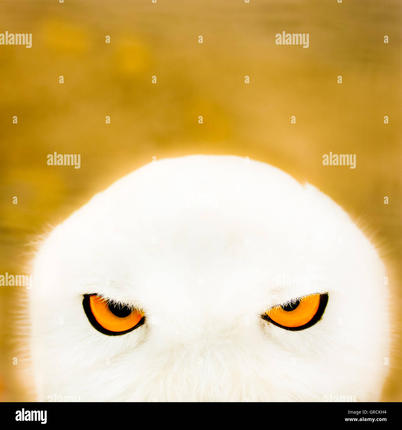 Face Of A Snowy Owl - Stock Image