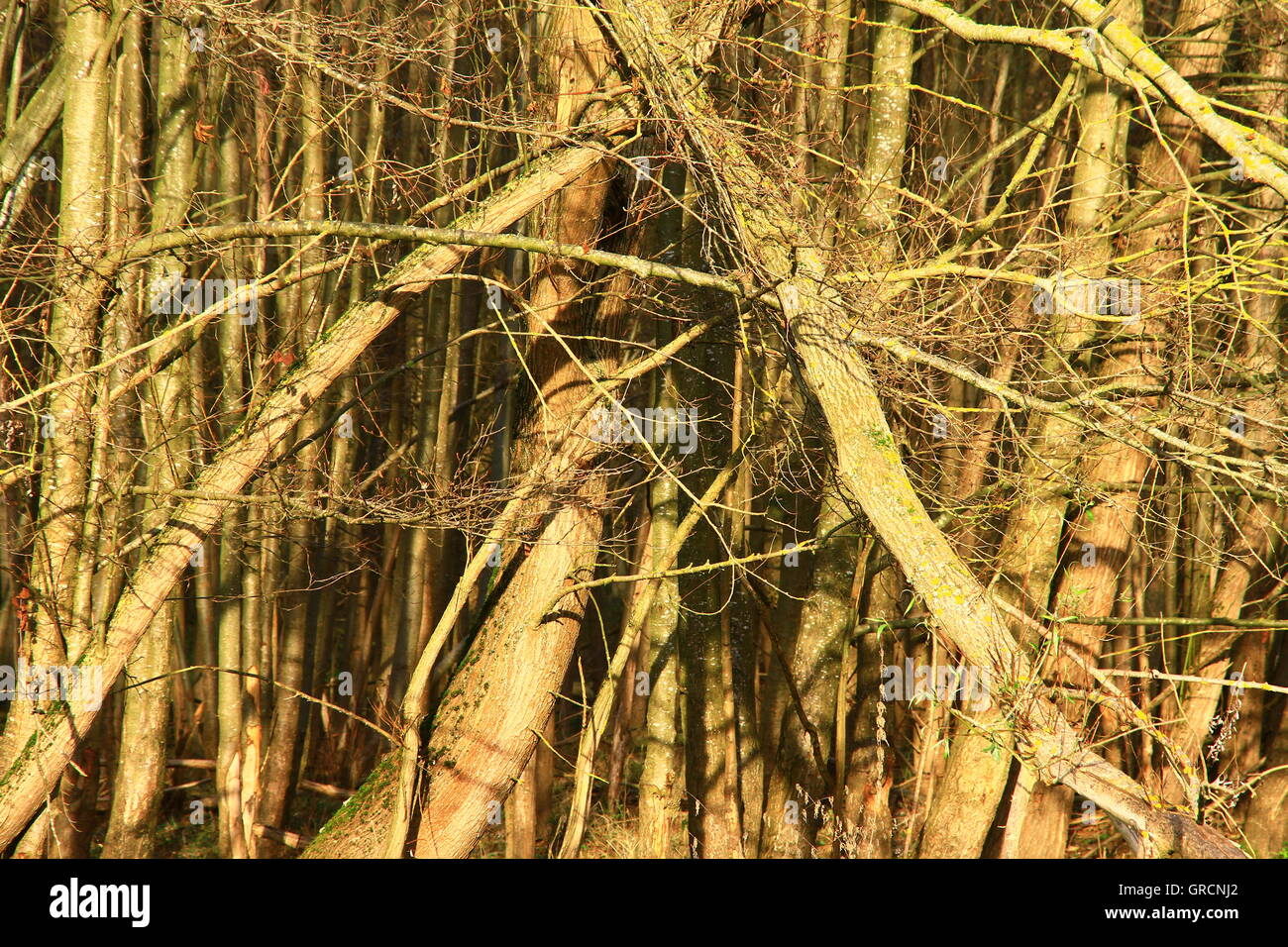 Primeval Forest - Stock Image