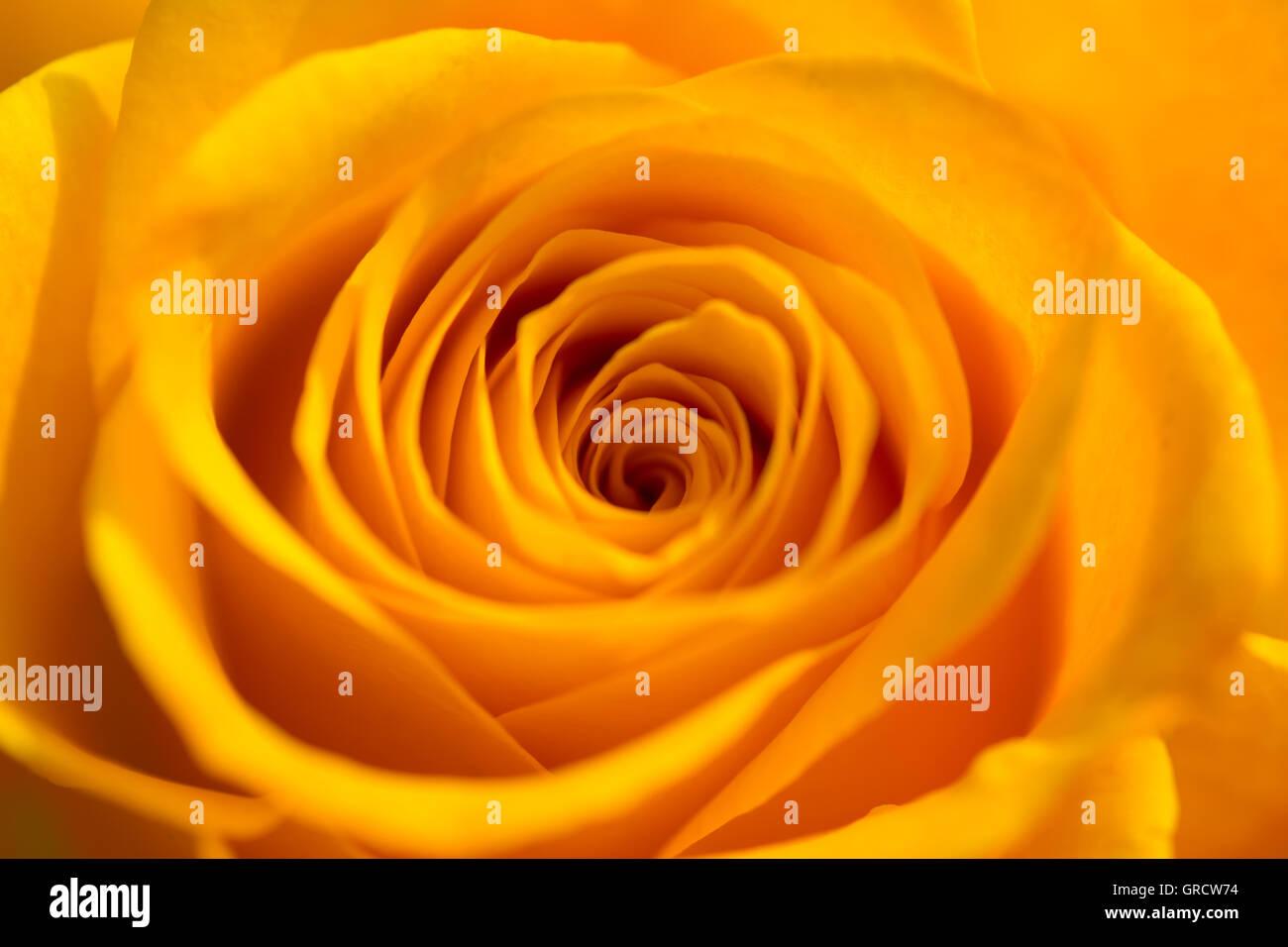 Detail Of A Single Orange Rose. - Stock Image