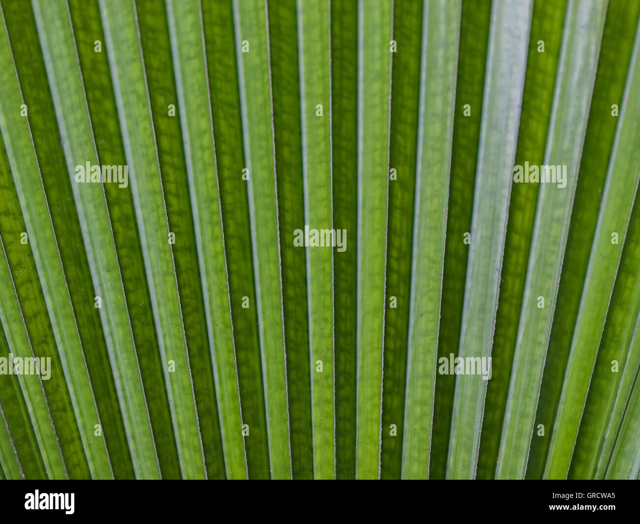 Close Up Of A Tropical Green Leaf In A Fan Shape - Stock Image