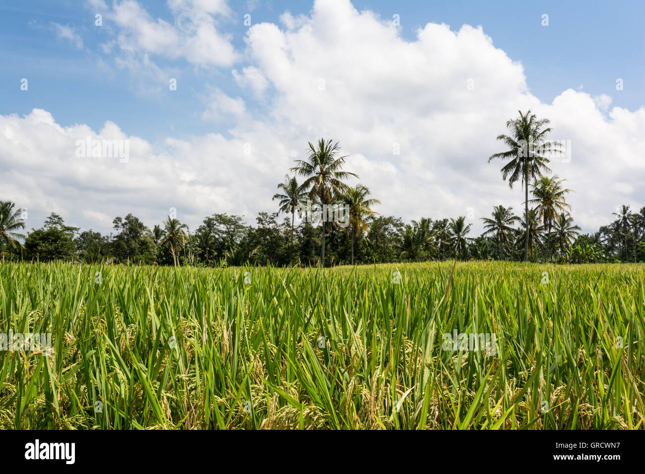 Landscape Image Of Rice Fields On Bali With Rice Plants In The Foreground Stock Photo
