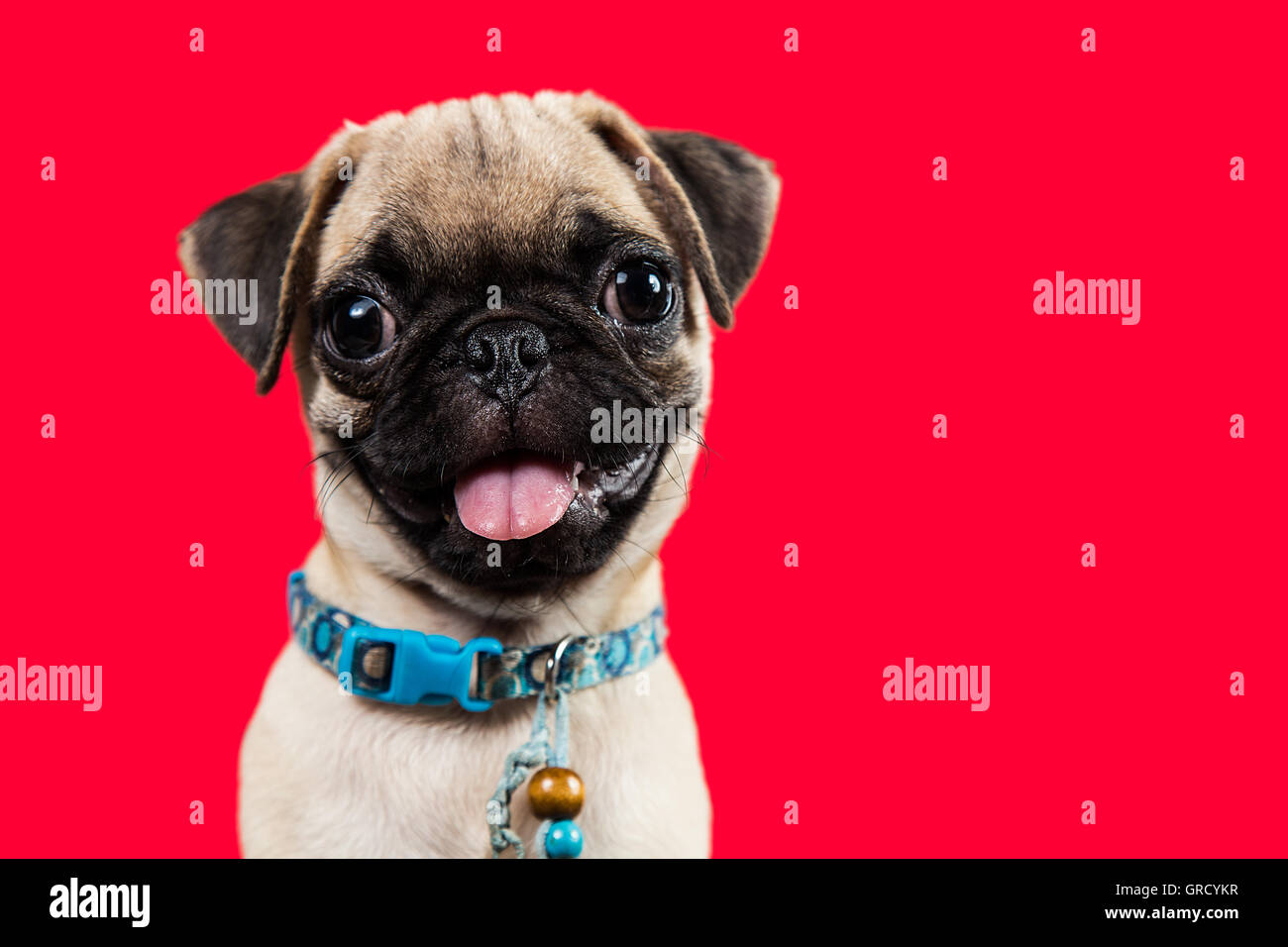 A pug puppy smiling in red background - Stock Image