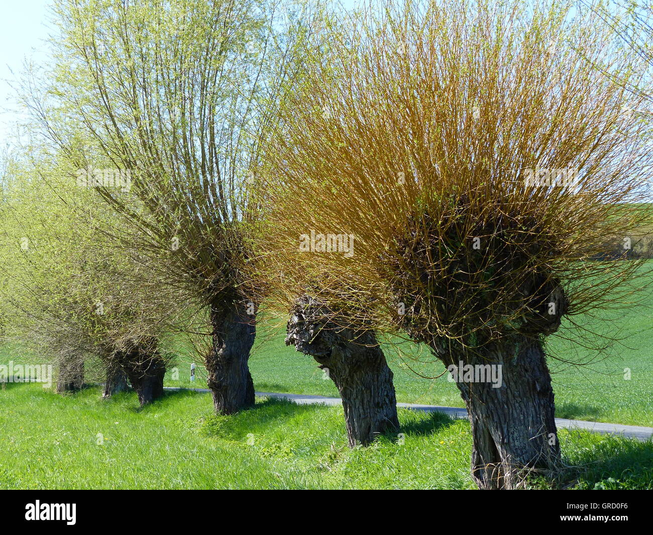 Pollard Willows Along A Country Road In Franconia, Bavaria, Germany, Europe - Stock Image