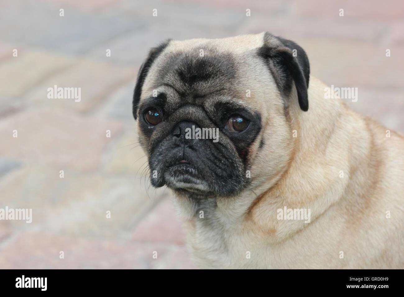 Beige Pug Looking Melancholically - Stock Image