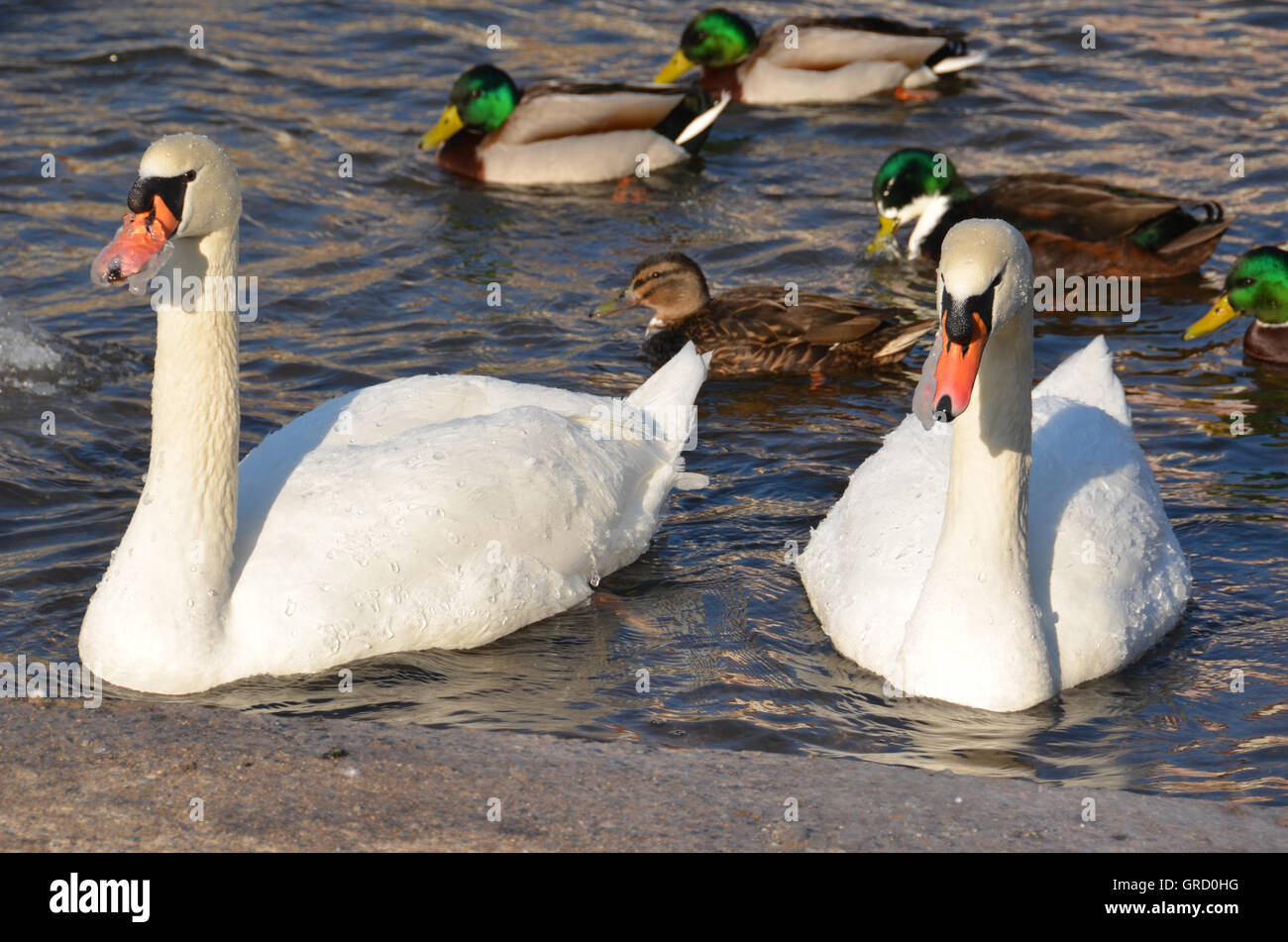 Two Swans With Beaks Frozen In The Cold Winter On The Water, And Some Ducks - Stock Image