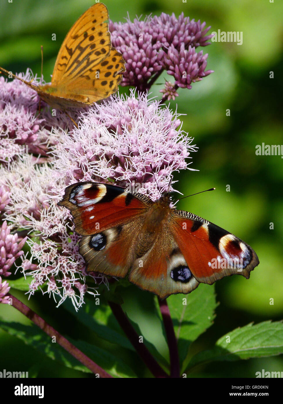 Peacock Butterfly And Butterfly Argynnis Paphia On Hemp Agrimony - Stock Image