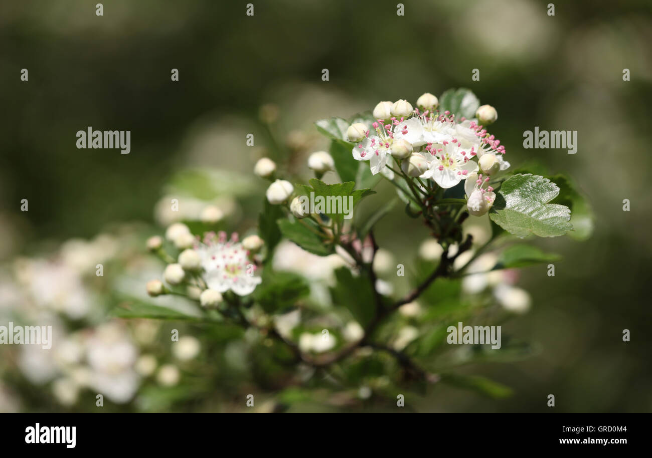 Blooming Whitethorn Twig Stock Photo