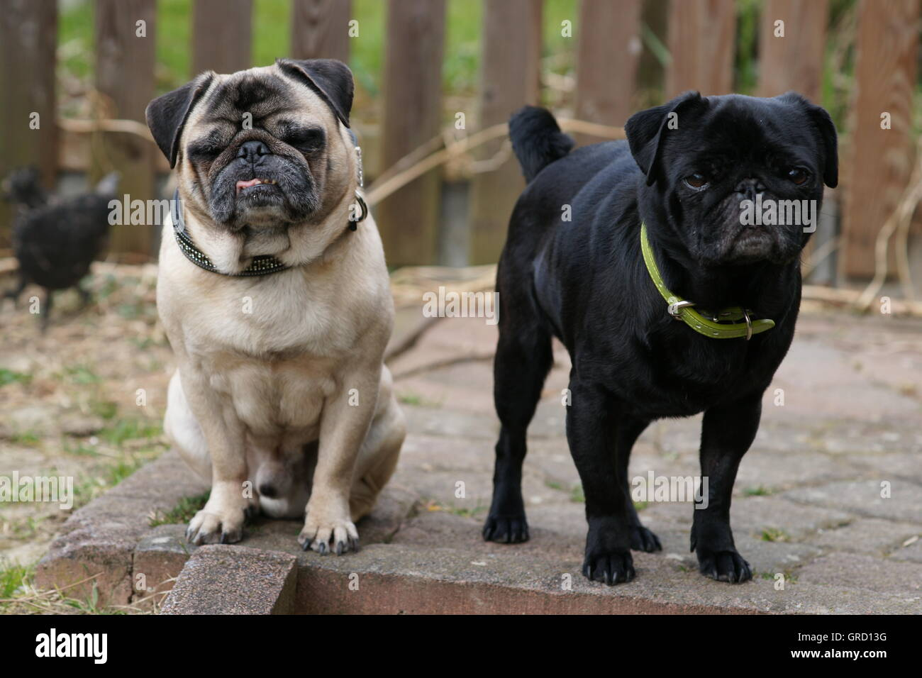 Two Pugs Of The Stairs Waiting Skeptical And Bored To Master Or Mistress - Stock Image