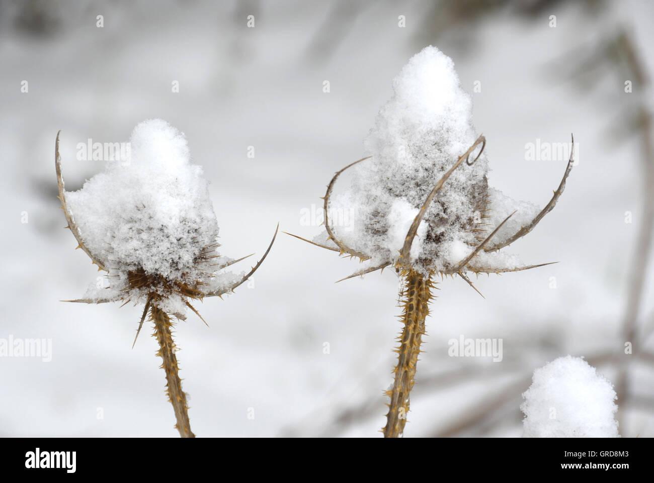 Snow Adorning Dried Thistles, Wild Teasel, Dipsacus Fullonum - Stock Image