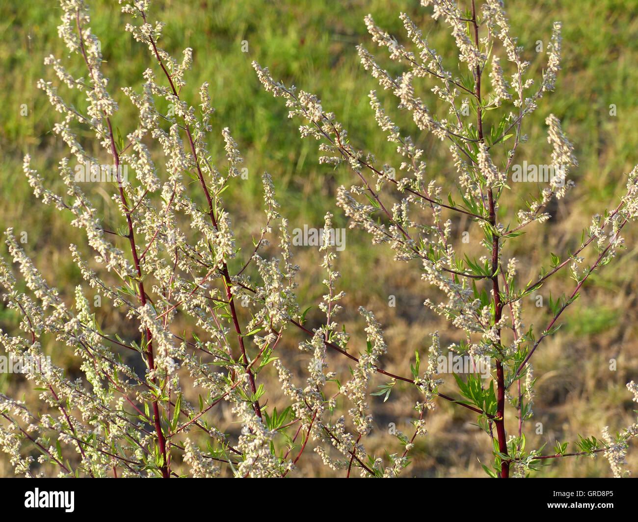 Mugwort, Artemisia Vulgaris, Medical Plant - Stock Image