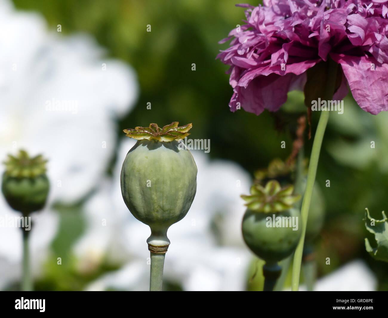 Poppy Opium Poppy Ornamental Version Papaver Somniferum Flower