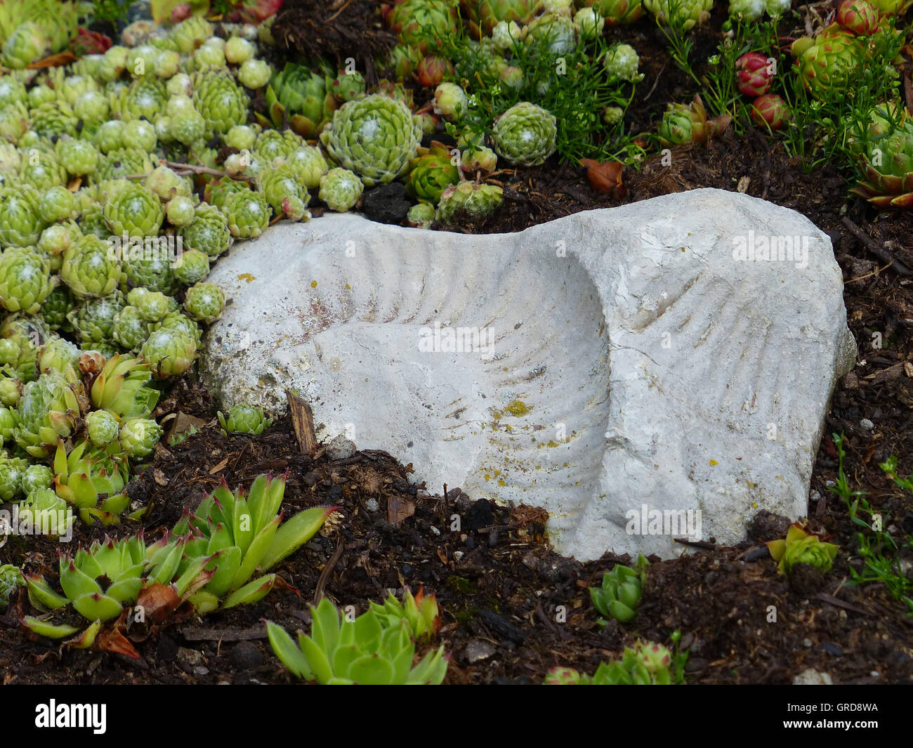 Succulents And Fossilized Mollusk In The Rock Garden - Stock Image