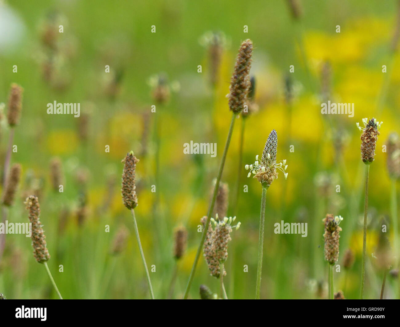 Fading Grasses On A Meadow - Stock Image