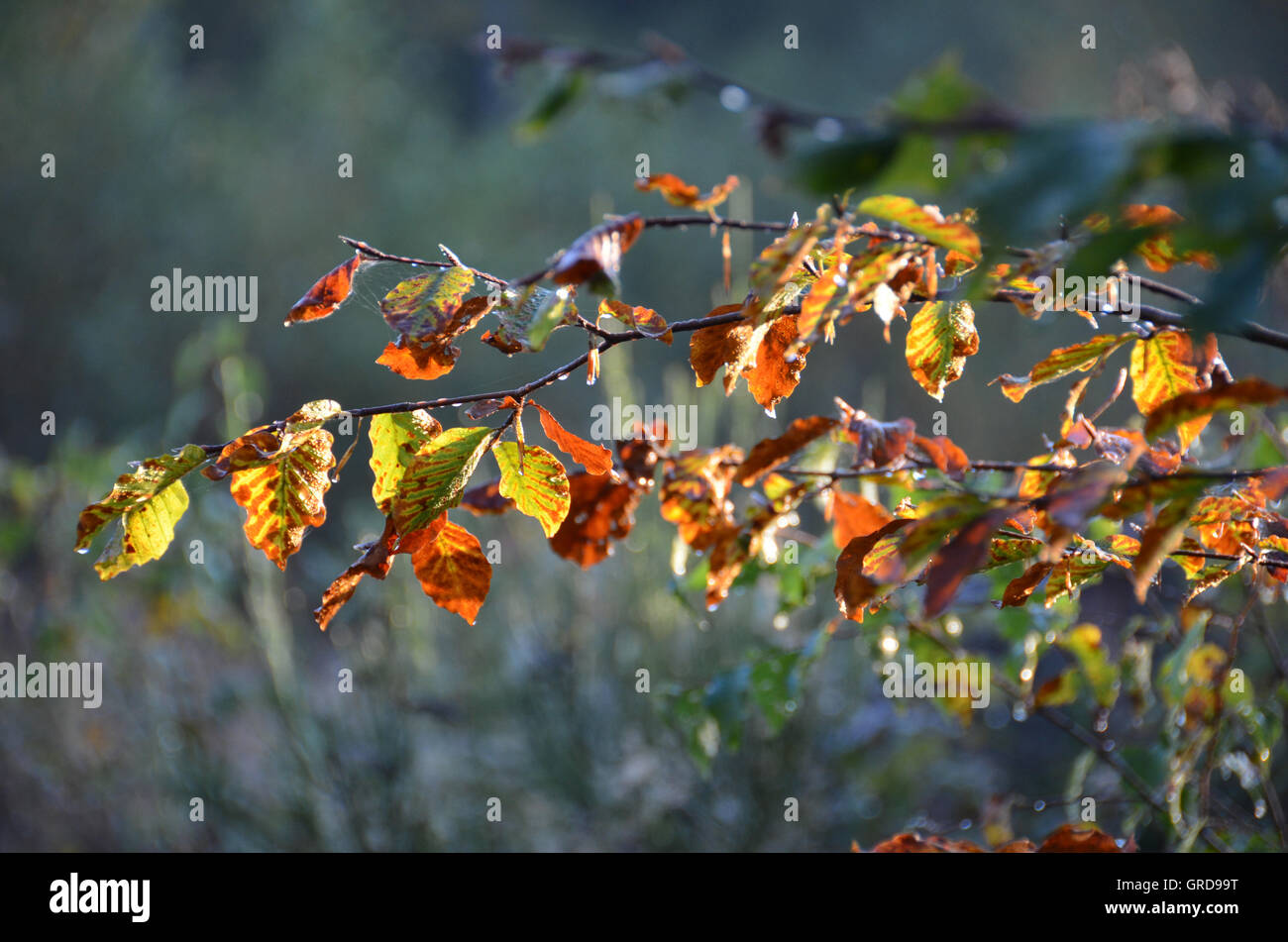 Beech Twig In Autumn - Stock Image