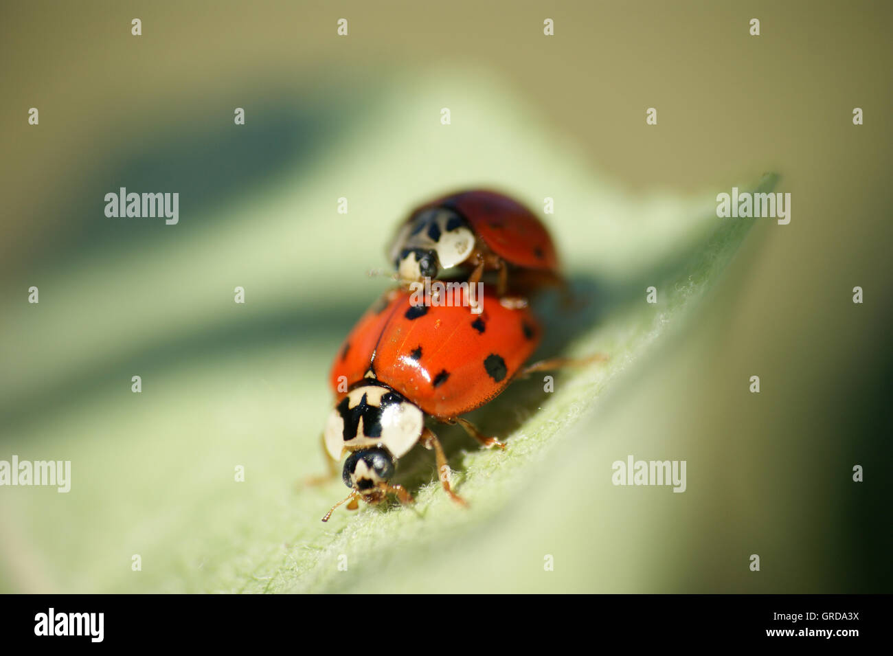 Two Ladybirds Pairing - Stock Image