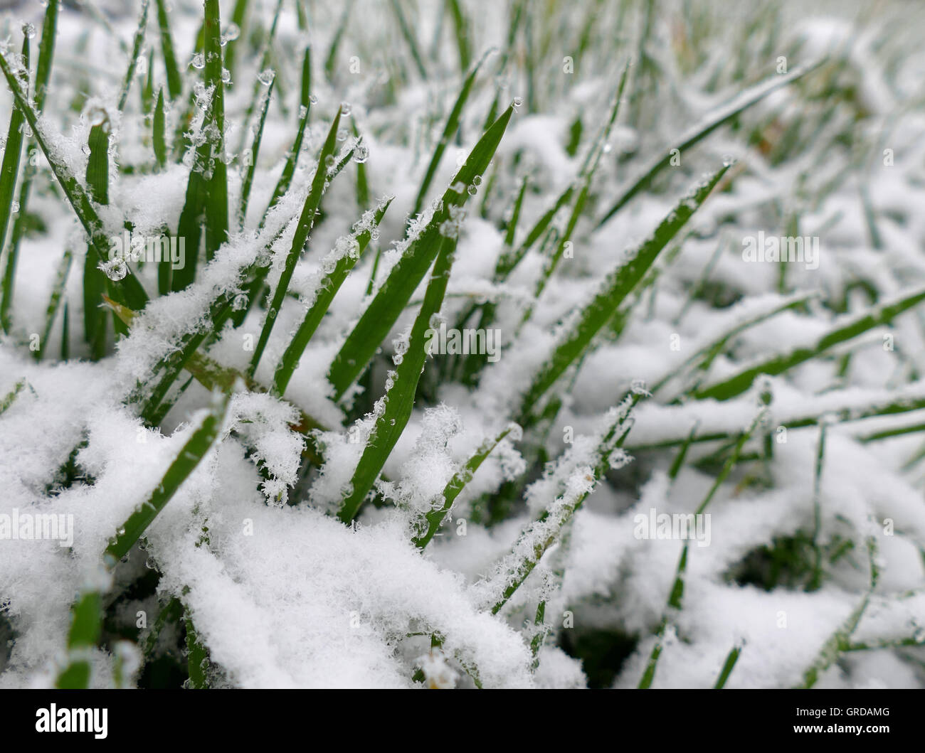 Blades Of Grass Looking Out Of The Snow - Stock Image