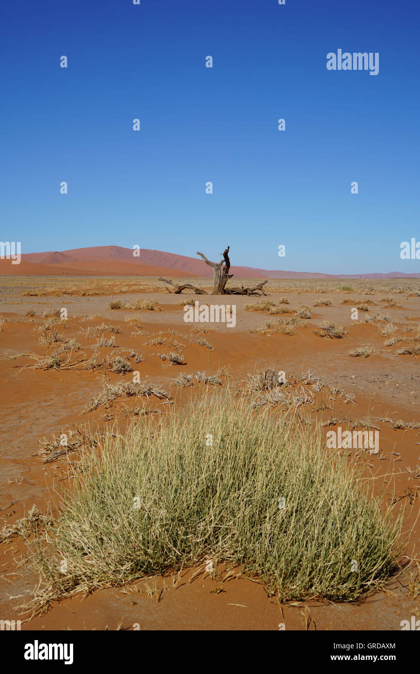 Dried Grass Tufts In Auburn Desert Sand Of The Namib Desert, Namibia - Stock Image