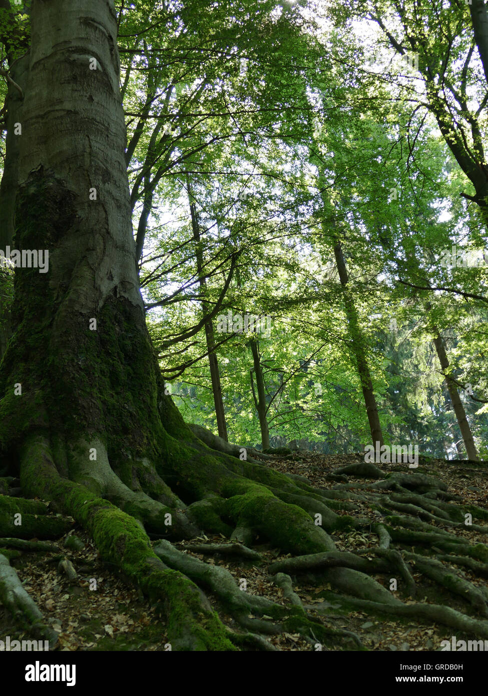 Mighty Old Tree In The Forest - Stock Image