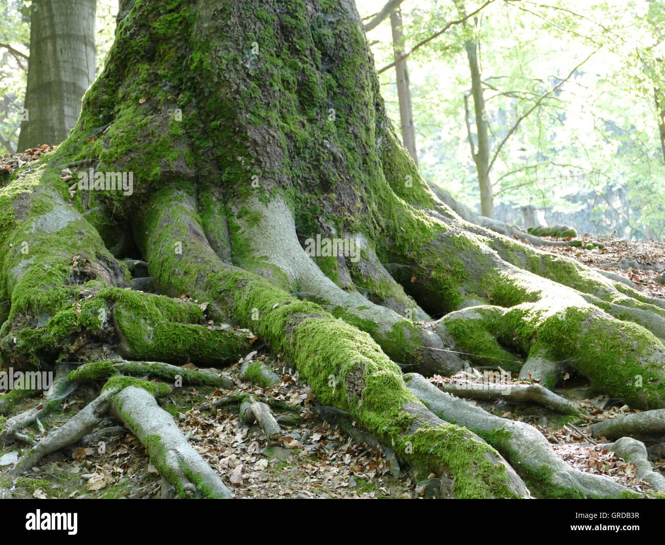 Mighty Old Tree In The Forest, Roots - Stock Image