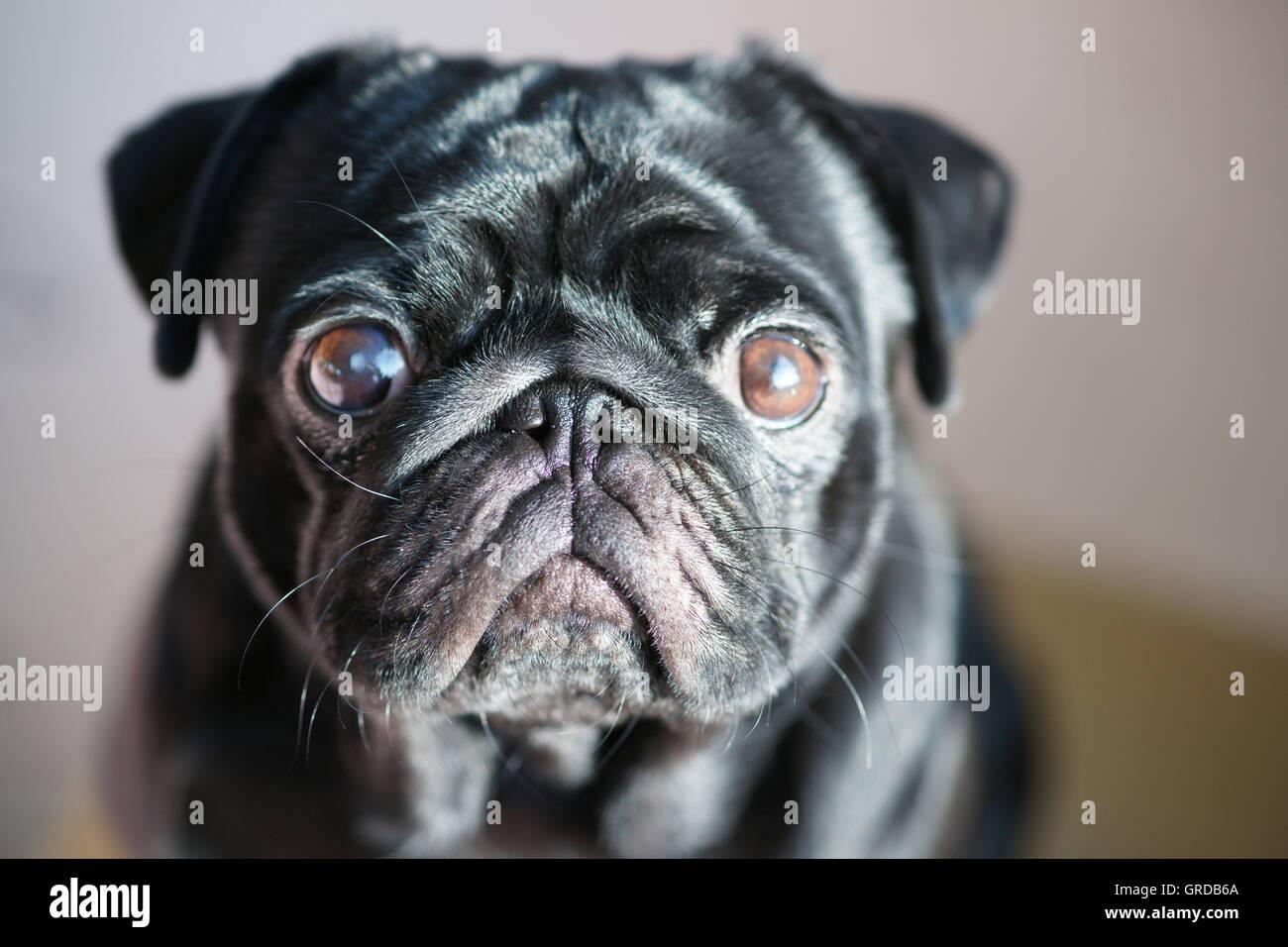 Black Pug Looks Interested, Portrait - Stock Image