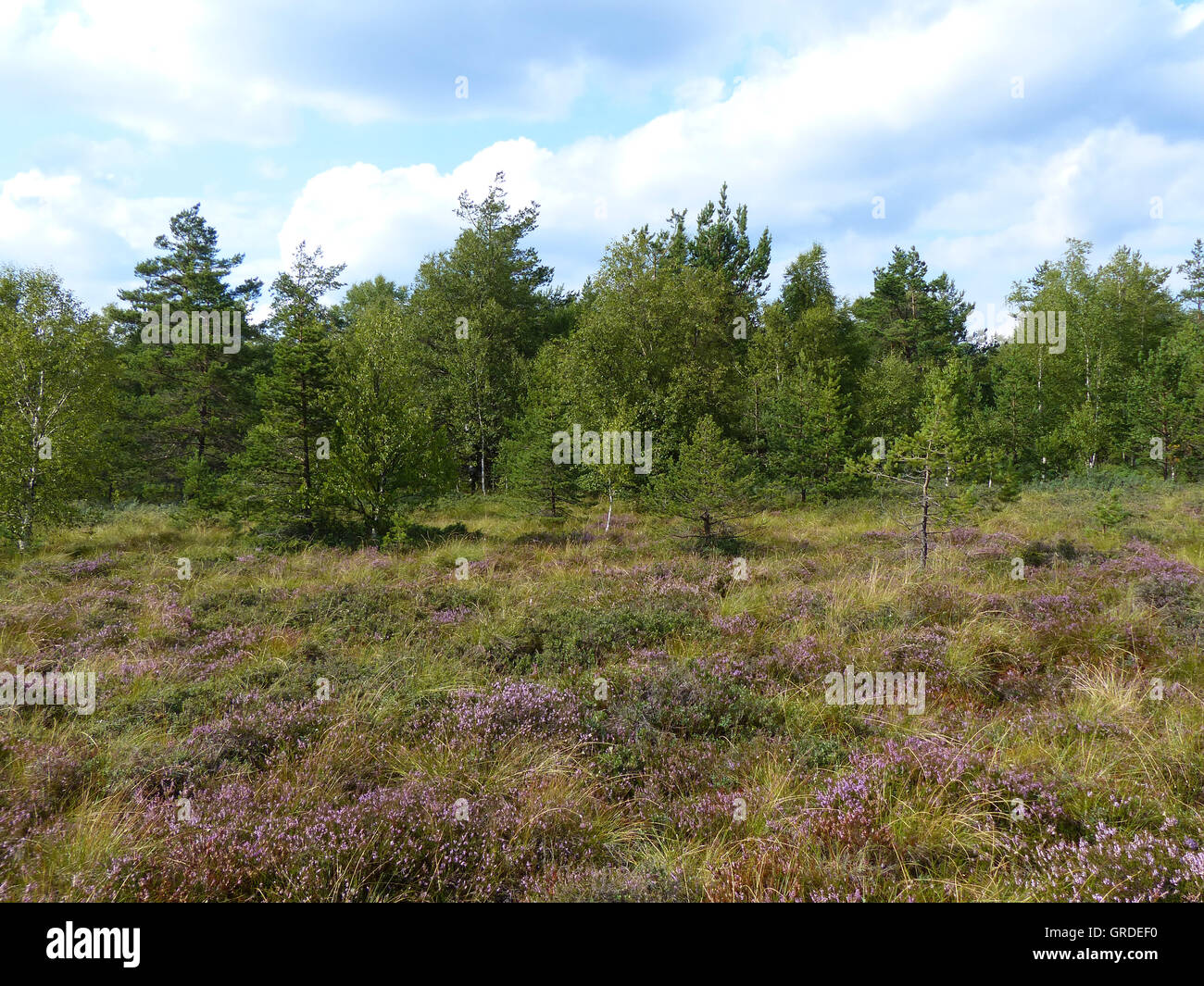 Heathland With Birch Trees, Spruces And Pines In Rhoen,Black Moor, Bavaria, Germany, Europe - Stock Image