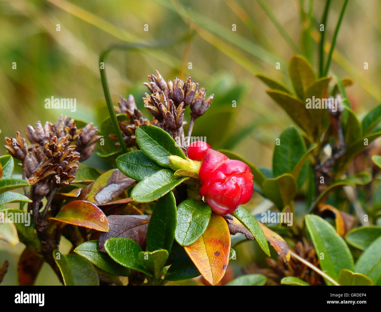 Lingonberry, Mountain Cranberry - Stock Image