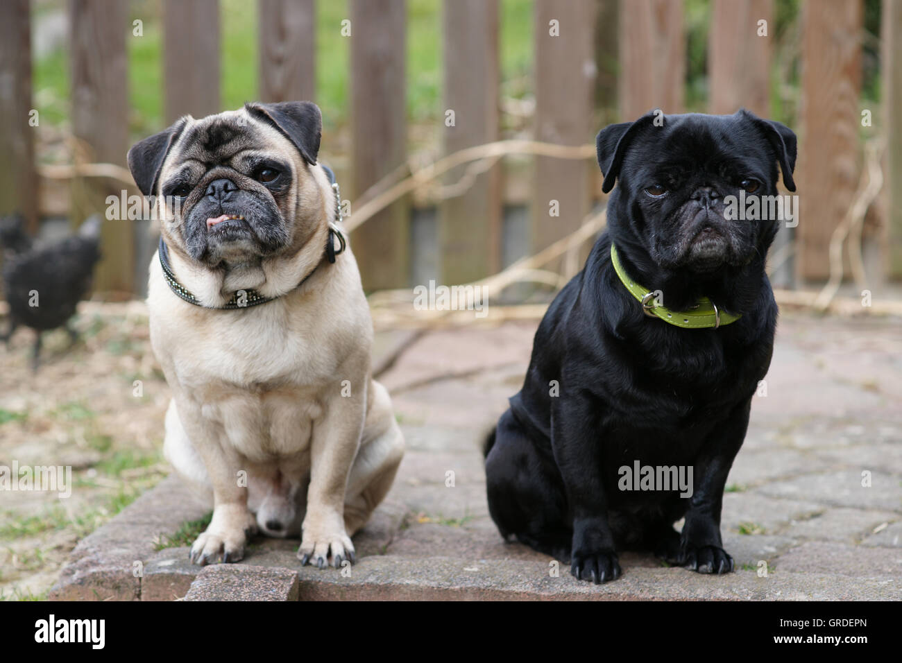 Beige And Black Pug Sit And Wait And Look Proud, Arrogant And Bored - Stock Image