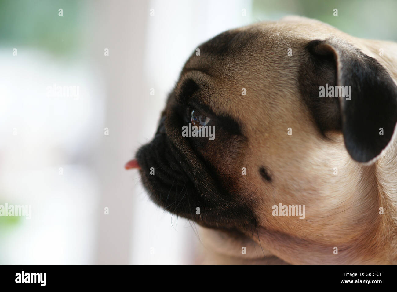 Beige Pug, Portrait With Out Flashing Tongue - Stock Image