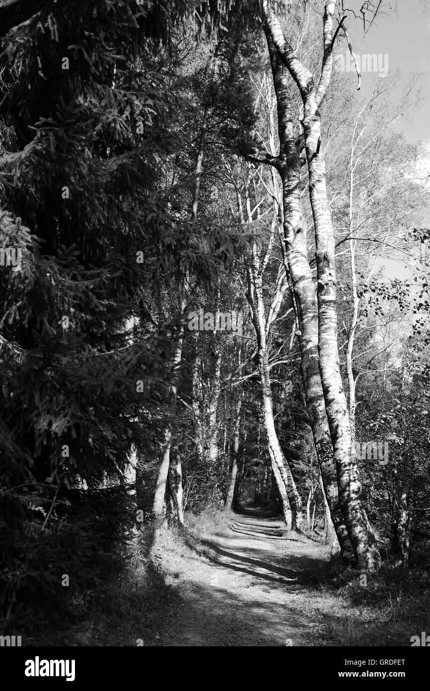 Forest, Forest Track In Black And White - Stock Image