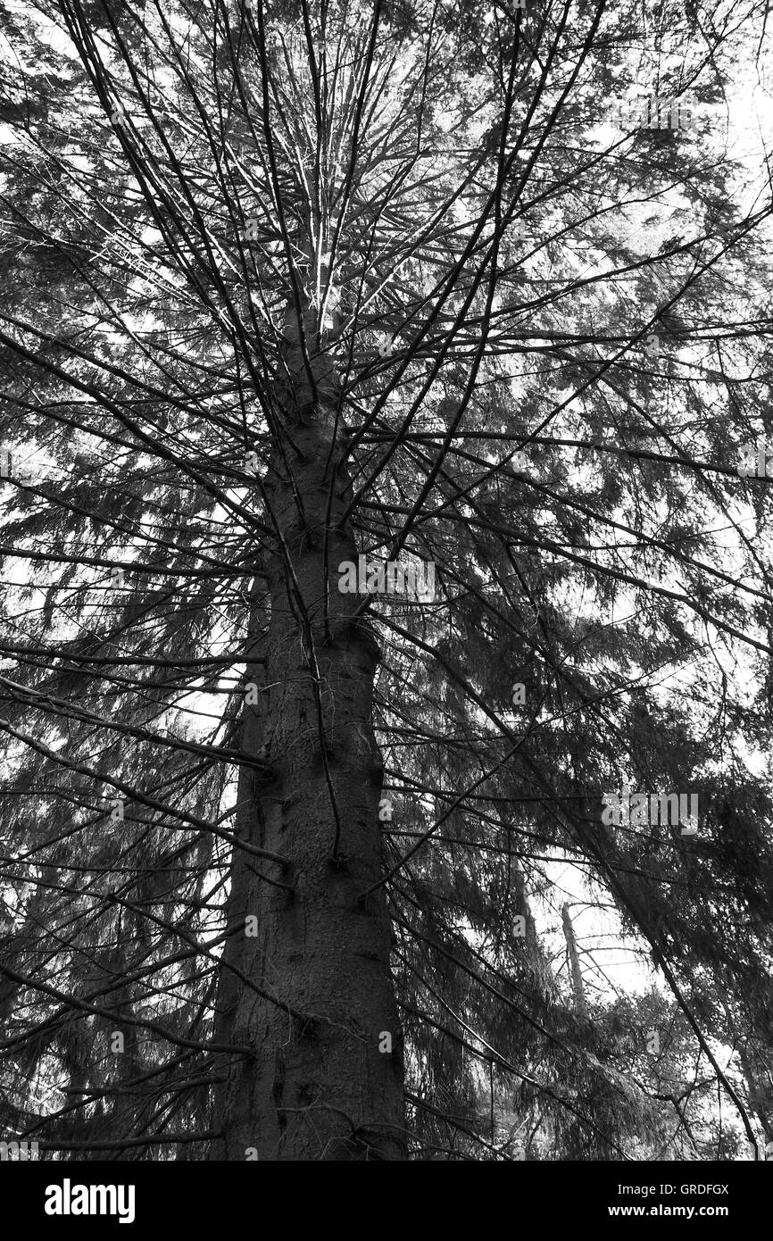 Old Mighty Conifer, Black And White - Stock Image