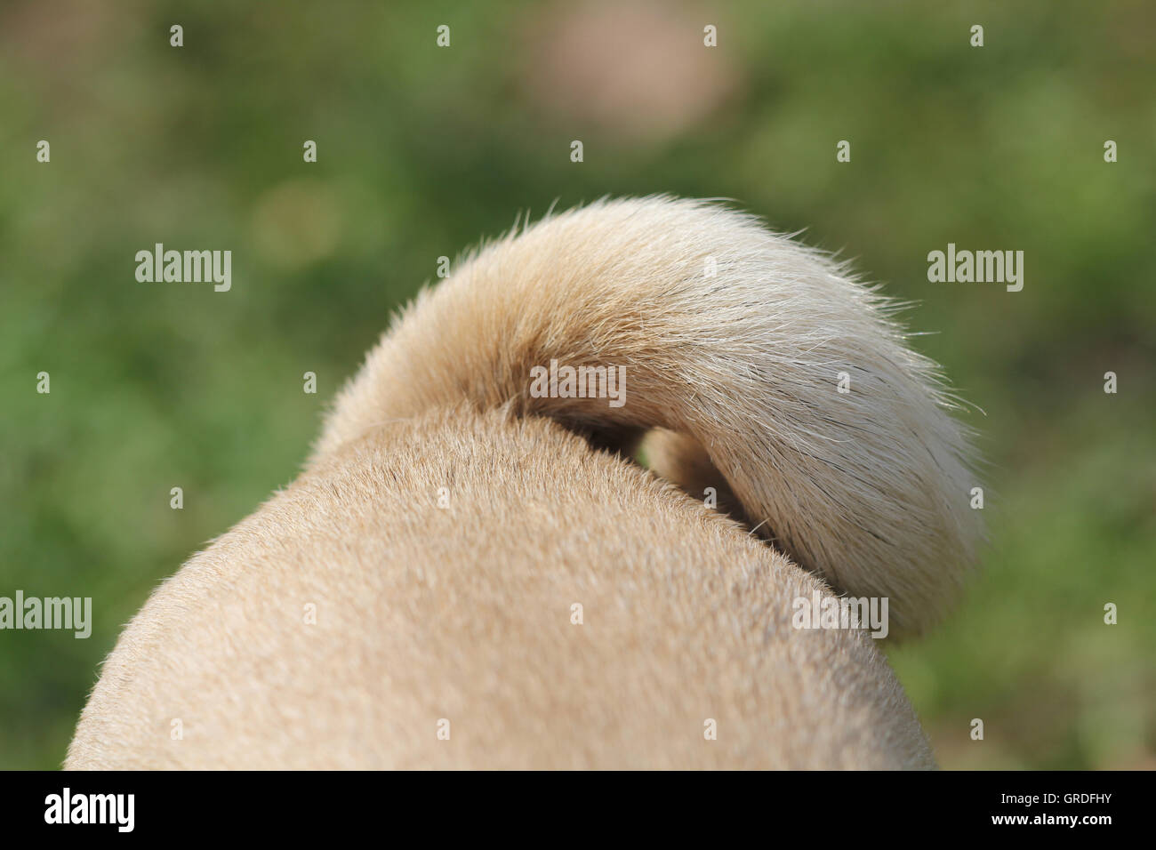 Backside Of A Beige Pug, Ring-Tailed - Stock Image