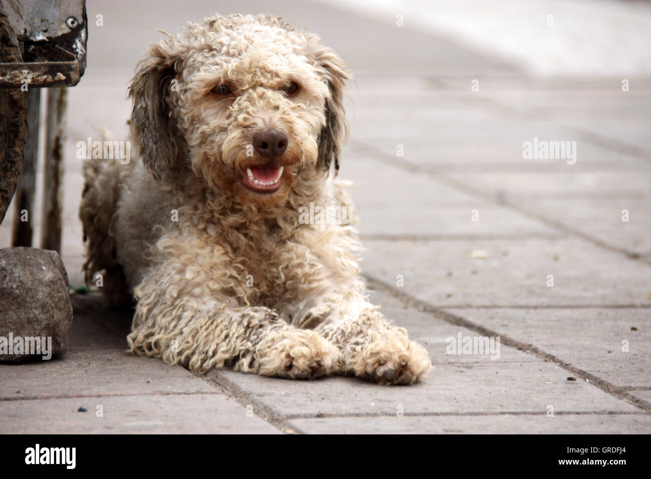 Abandoned smiling dog in the street - Stock Image