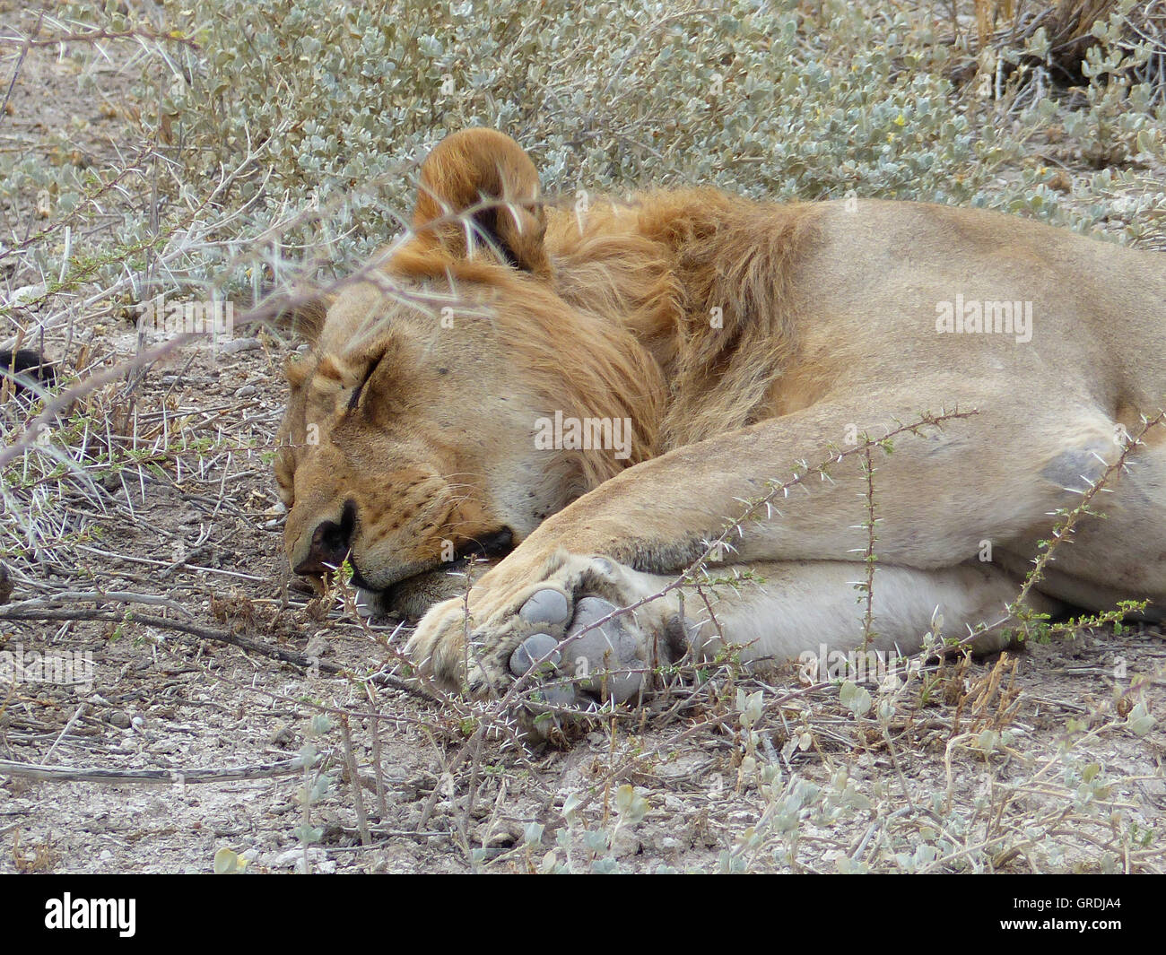 Sleeping Lion, Male Lion - Stock Image
