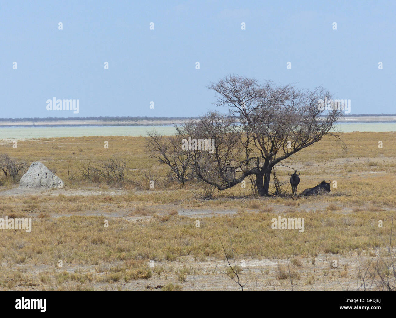 Wildebeest Under A Leafless Tree,Next To A Termite Mound,Namibia,At Horizon There Is A Mirage,Looks Like A Lake,But - Stock Image