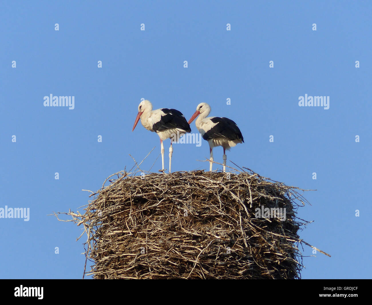 Two Storks In A Stork Nest - Stock Image