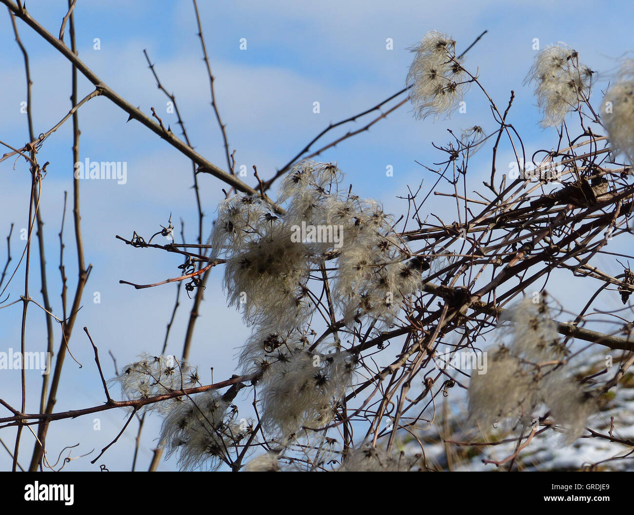 Clematis, Withered, Clematis Vitalba - Stock Image