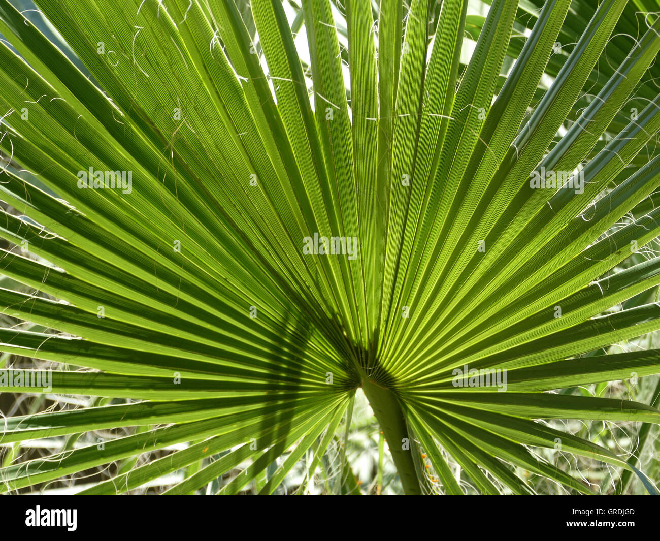 Palm Leaf, Palm Fronds - Stock Image