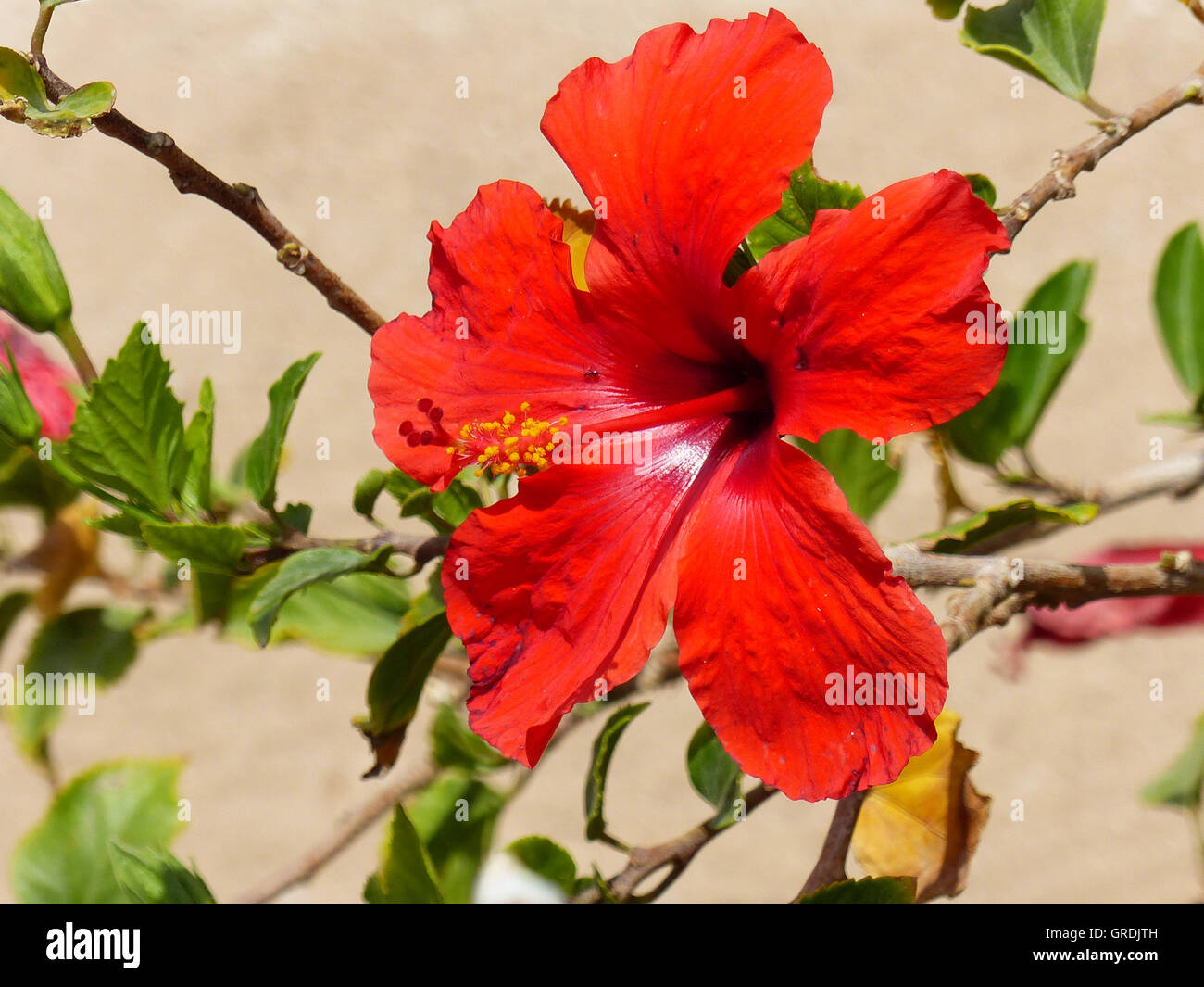Rose Of Sharon Hibiscus Syriacus Stock Photo 117699473 Alamy
