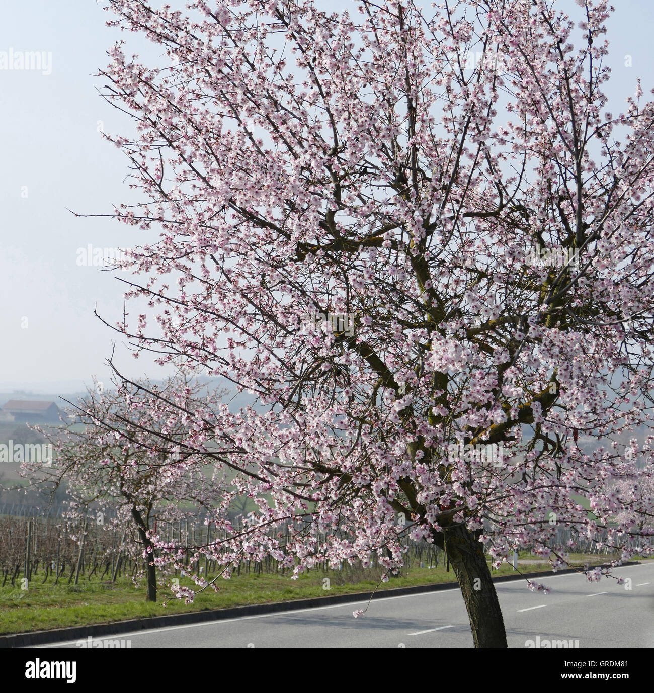 Almond Blossom At German Wine Route, Palatinate Stock Photo