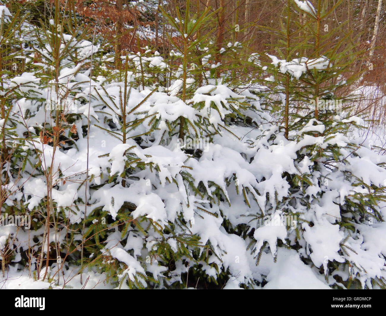 Snowy Spruces - Stock Image