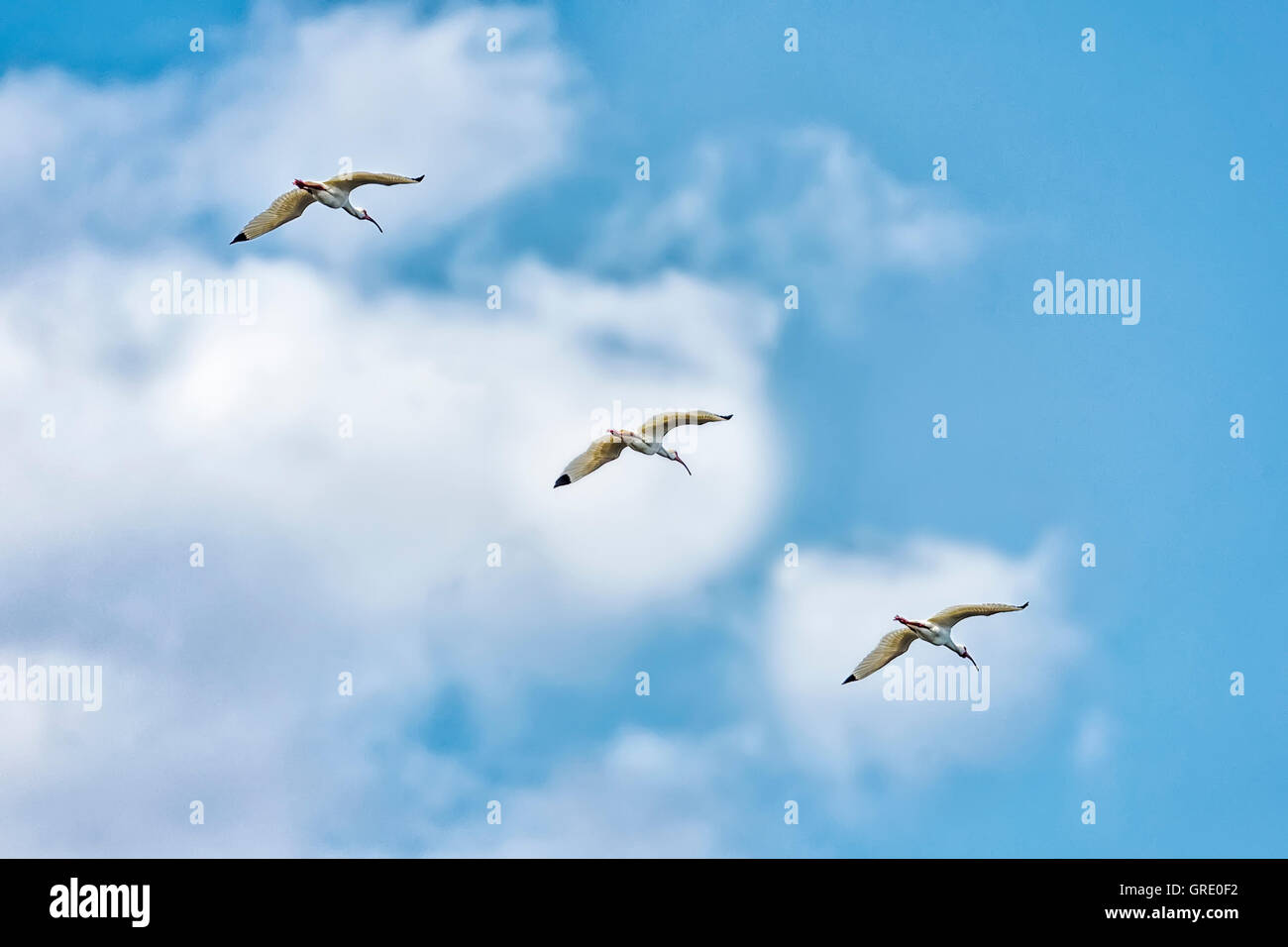 There white Ibis flying against a cloudy sky. - Stock Image