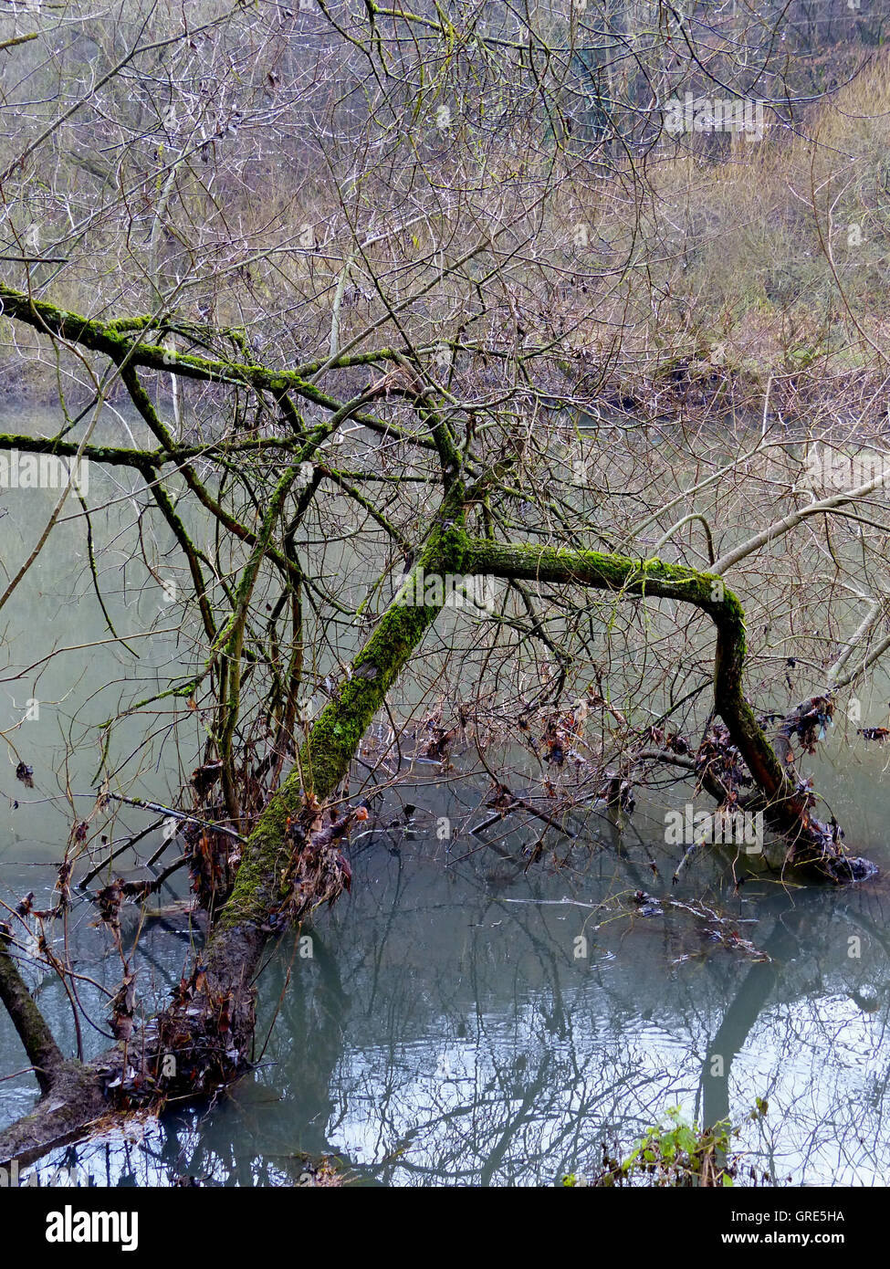 Mossy Leafless Tree Standing On The Banks Is Half In The Water Of River Lahn - Stock Image