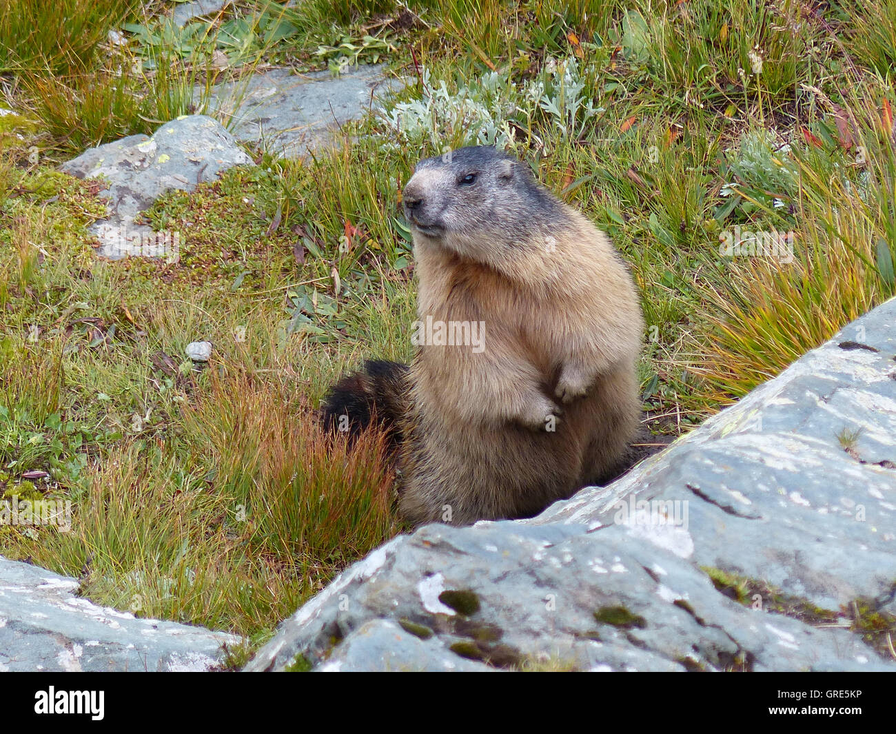 Marmot, Marmota Monax - Stock Image