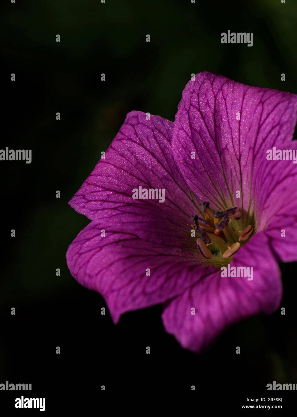 Cranesbill, Geranium With Dark Background, Abstract - Stock Image